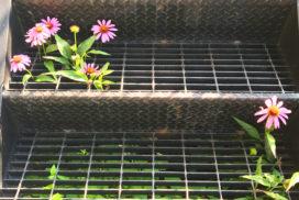 purple coneflowers growing through sidewalk grate