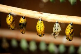 colorful cocoons lined up on a twig
