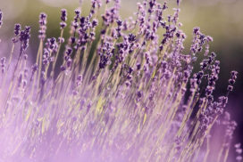 lavender field, representing the use of essential oils in family constellation work