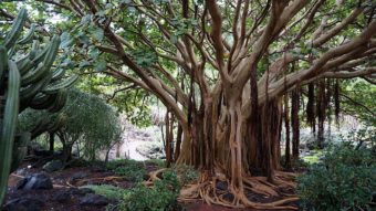 massive mother tree with many trunks, roots, and branches